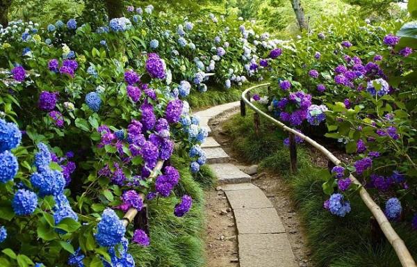 La hortensia levanta envidias entre el resto de las flores - Cuidados de una hortensia ...