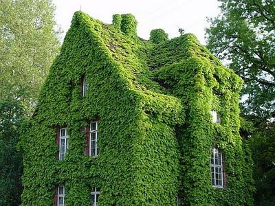 la hiedra el culantrillo o la gitanilla entre otras muchas son algunos tipos de plantas colgantes - Plantas Colgantes