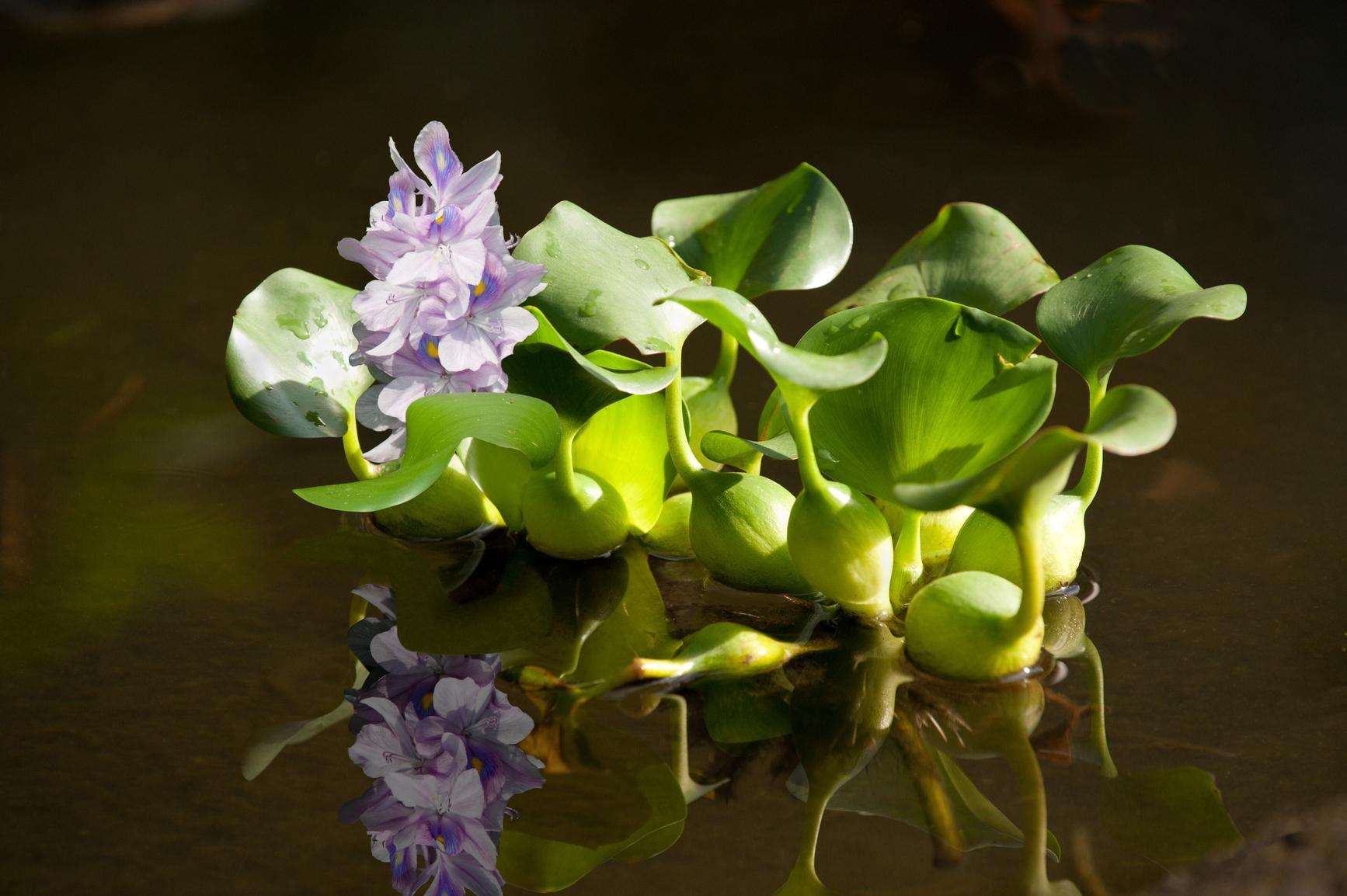 8 plantas que deben estar en nuestros estanque for Plantas para estanques de agua fria