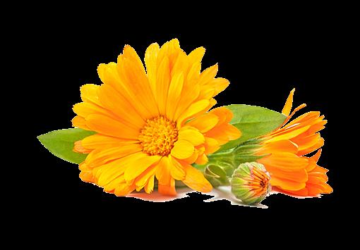 flor mes de nacimiento calendula