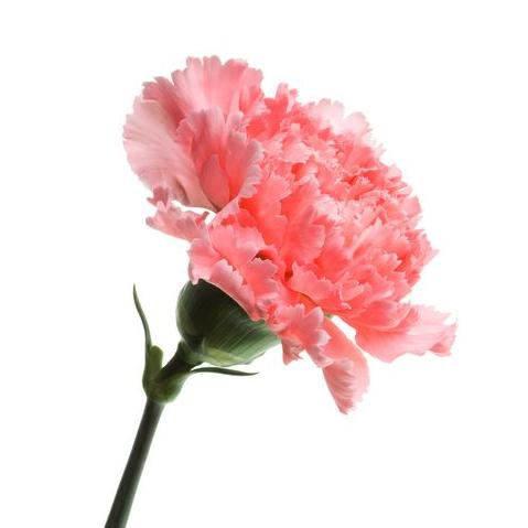flor mes de nacimiento clavel