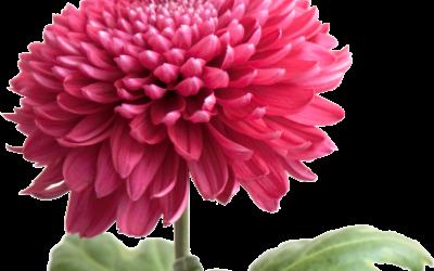 ¿Sabías que los crisantemos son las flores del mes de noviembre?
