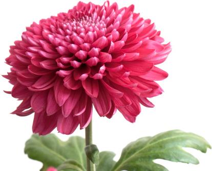 flor mes de nacimiento crisantemo
