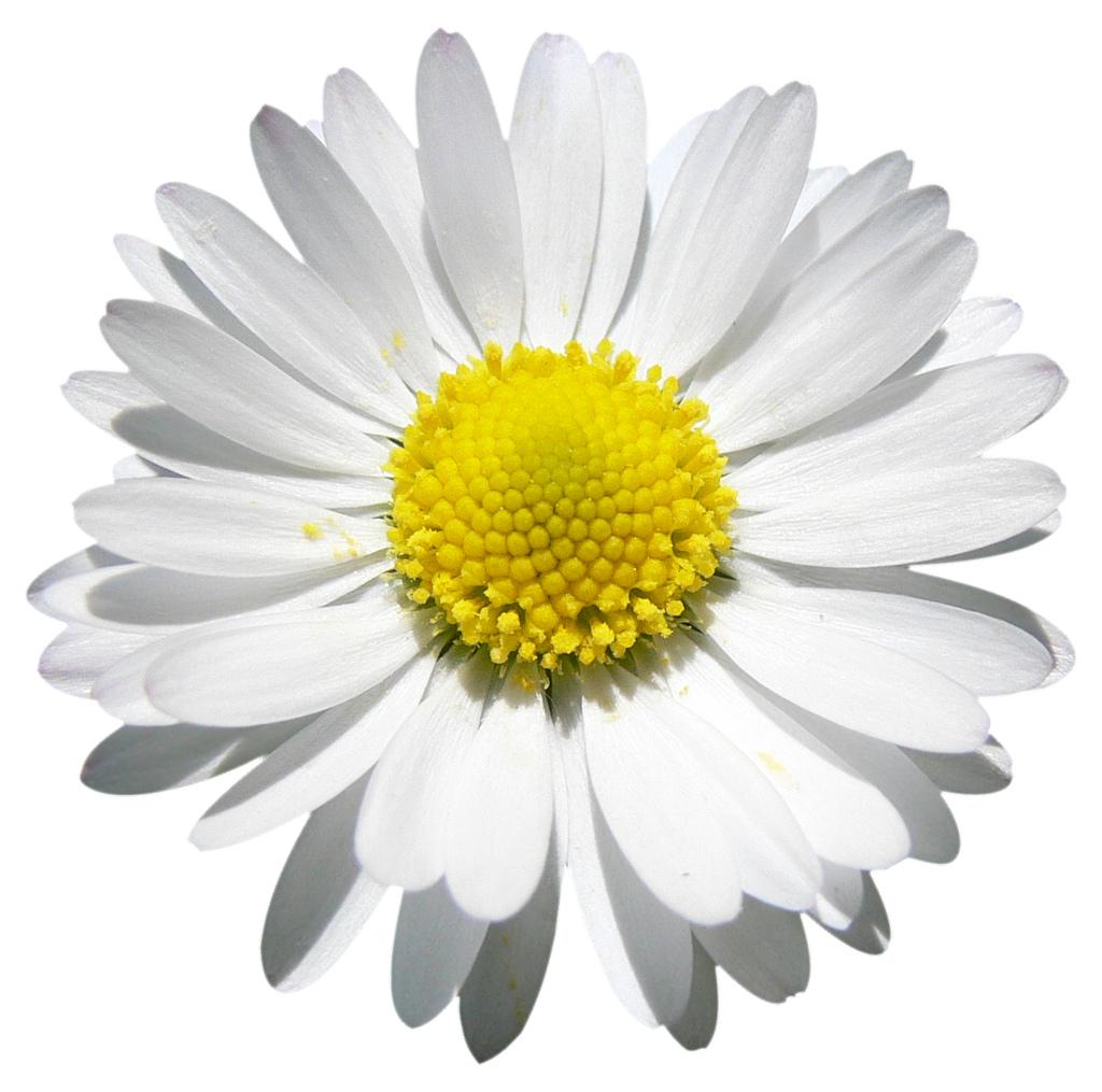 flor mes de nacimiento margarita