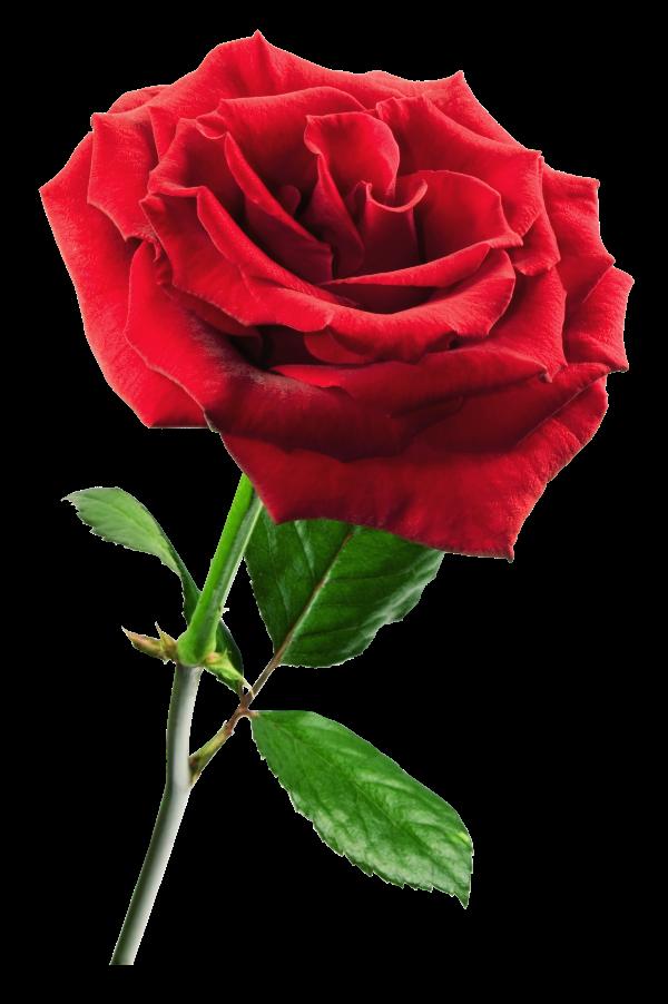 Flor Mes De Nacimiento Rosa Floryfauna