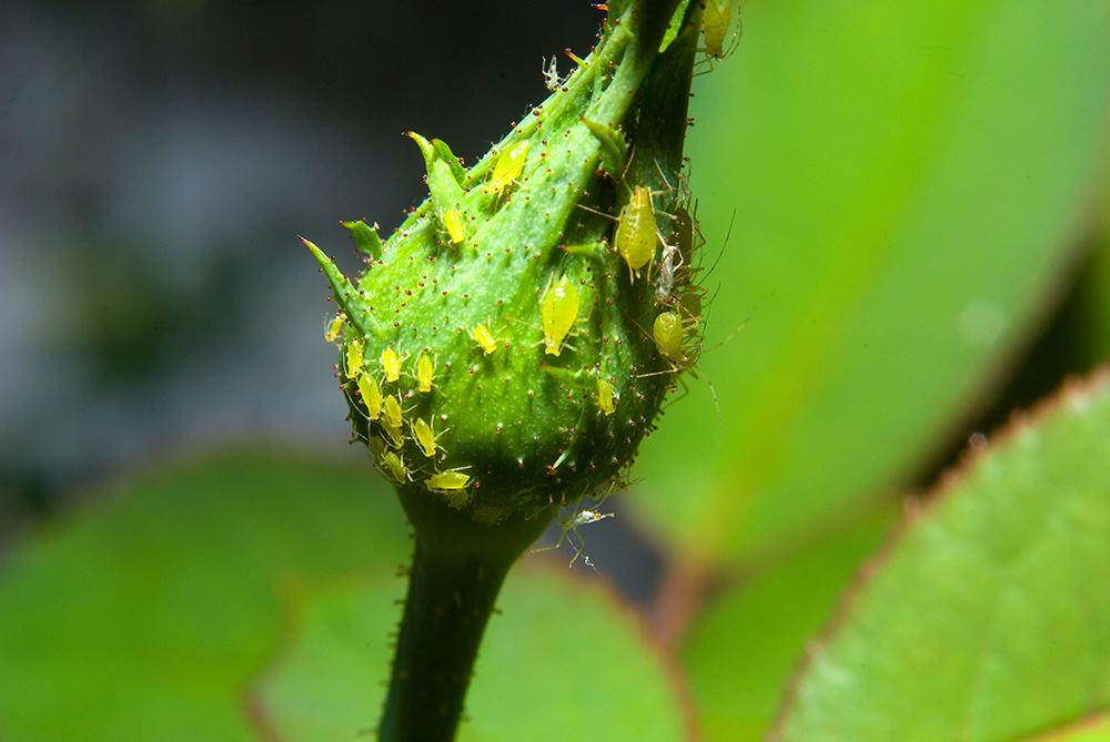 5 tipos de plagas que pueden afectar a tus plantas y flores for Todas las plantas son ornamentales