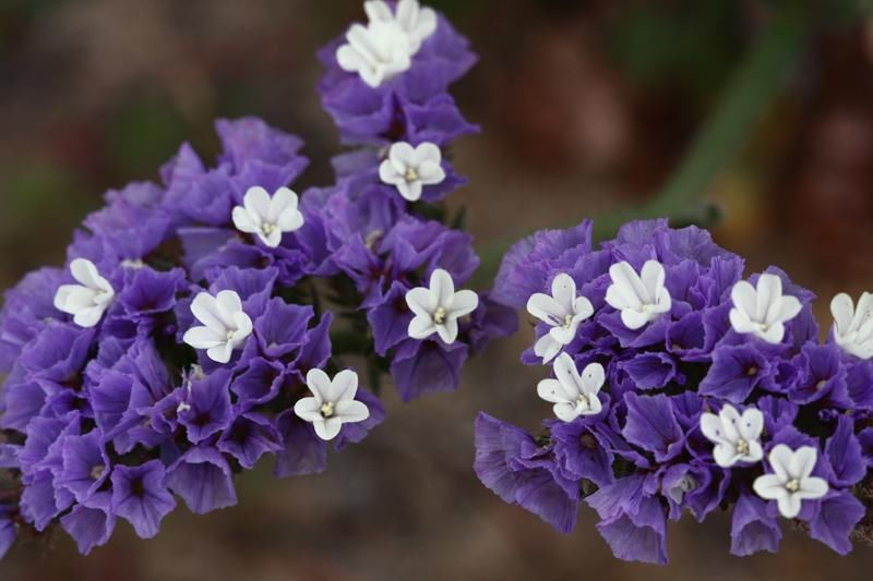 Cultivos Y Cuidados De Las Flores Conocidas Como Siemprevivas