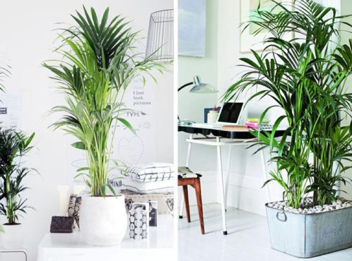 5 tipos de palmeras que puedes usar para decorar tu hogar for Ideas para decorar interiores con plantas