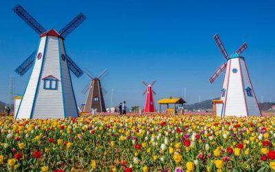 Los tulipanes, la flor de Holanda ¿Pero sabes de dónde provienen?