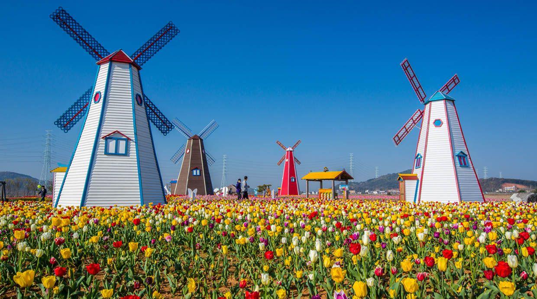 tulipán-flor-holanda