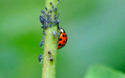 5 tratamientos ecológicos contra el temido pulgón
