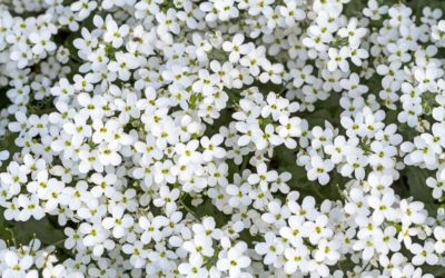 ¿Qué significado tienen las flores de color blanco?