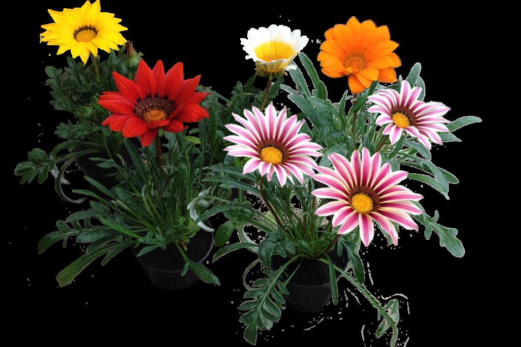 gazania-flores-originales