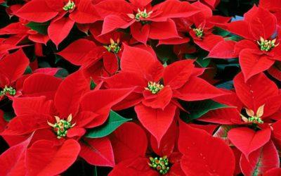 Consejos para cuidar la flor de pascua y que dure para el año que viene