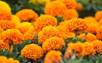 ¿Sabías que el cempasúchil es la planta por excelencia para el Día de los Muertos en México?
