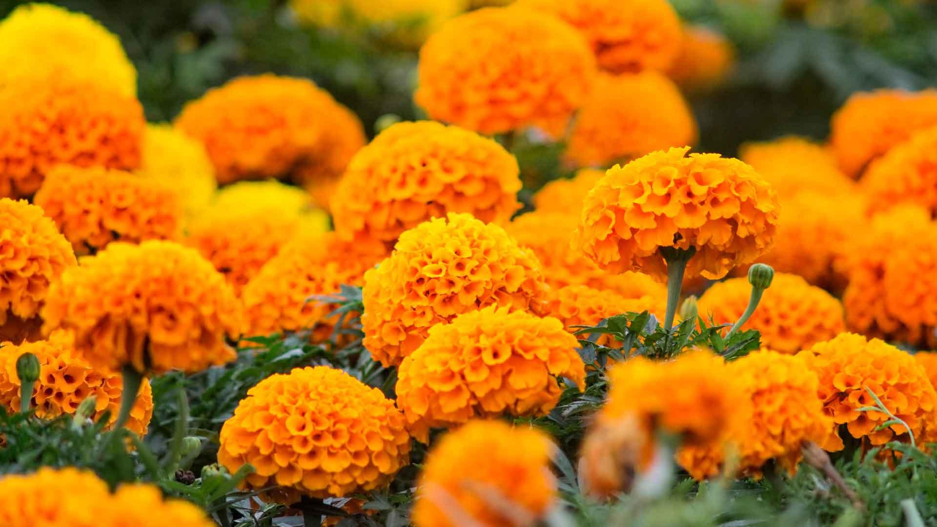 Flor de cempasúchil día de los muertos