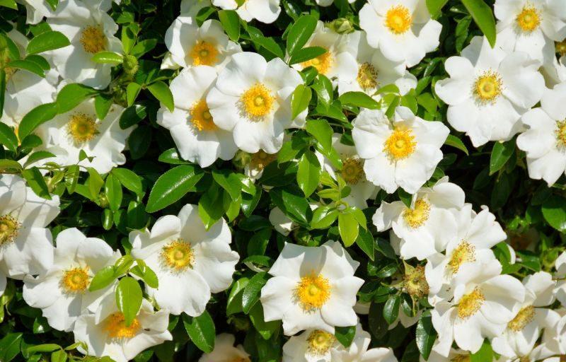 Gardenia - san valentín