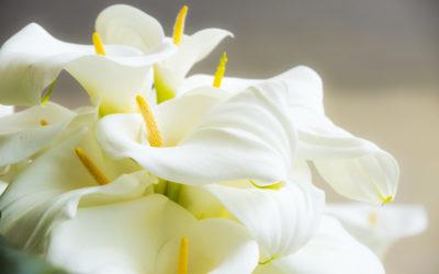 ¿Cuáles son las mejores flores para regalar a personas alérgicas al polen?