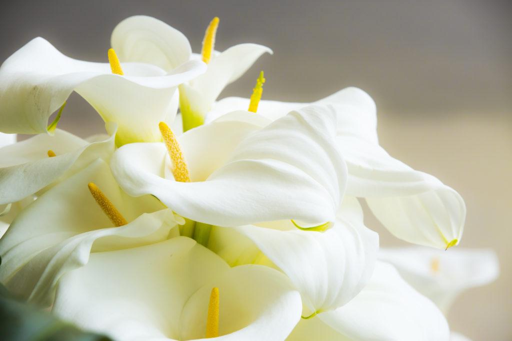 calas-flores-sin polen