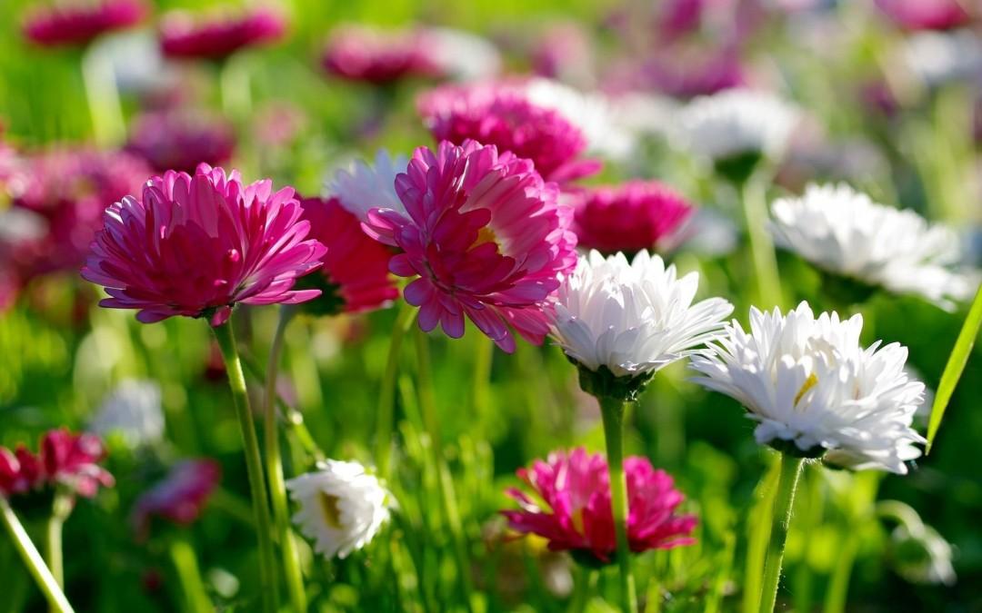 crisantemos - flores san valentín