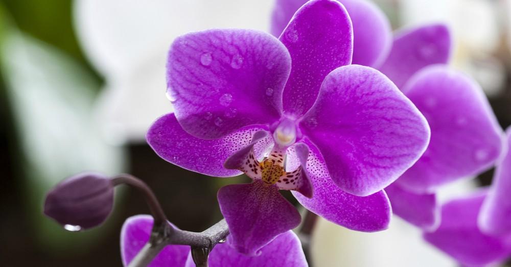 orquideas - san valentín