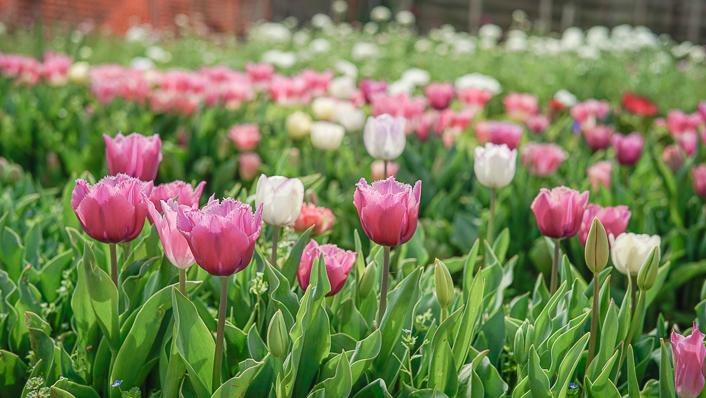 tulipanes - flores san valentín