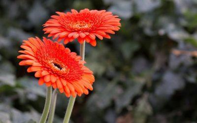 ¿Qué beneficios tiene tener flores en casa?